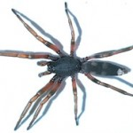 Tailed Spider